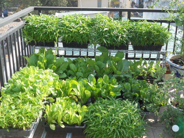 Kết hợp lợi ích hai trong một- Vừa có rau sạch vừa làm đẹp sân vườn